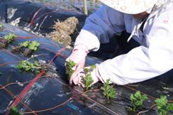 盆菊の定植